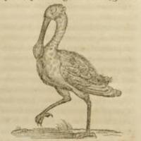 Pelicanus (Pelican)