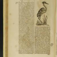 Arca Nöe Page 80: Ciconia (Stork)
