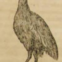 Grus (Crane)