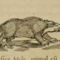 Animalium Quinque: The Badger
