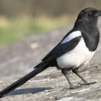European-Magpie.jpg