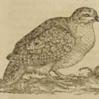 Perdix (Partridge)